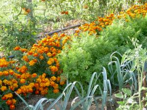 Exemple d'association végétale bénéfique : les Œillets d'Inde protègent les carottes des attaques parasitaires.